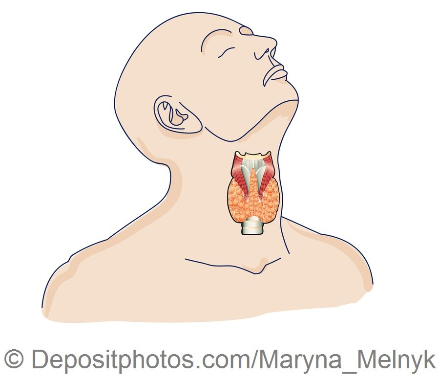 Thyroid gland in the human body — Grafika wektorowa